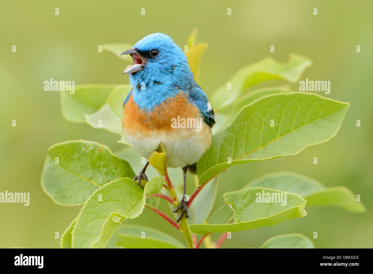 A male lazuli bunting (Passerina amen) belts out a song for any nearby females, North America - Stock Image