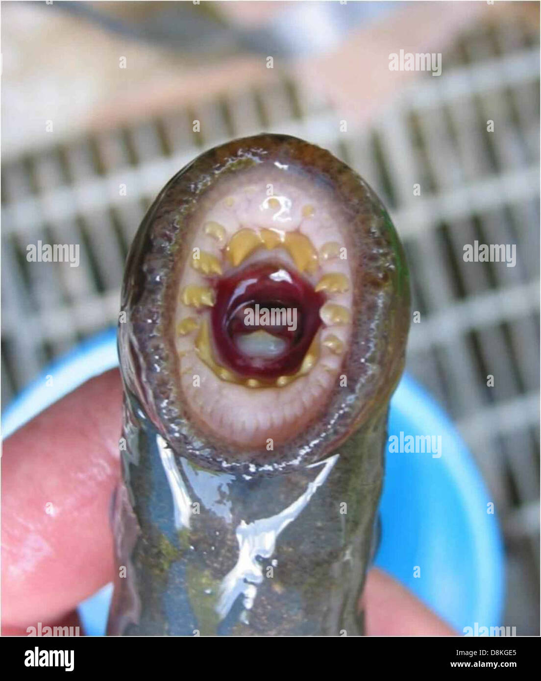 Lamprey Mouth Stock Photos & Lamprey Mouth Stock Images - Alamy