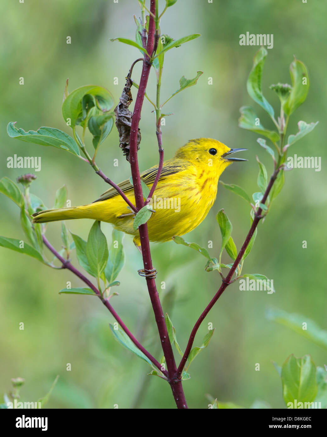 A singing yellow warbler (Dendroica petechia) male, Missoula, Montana - Stock Image