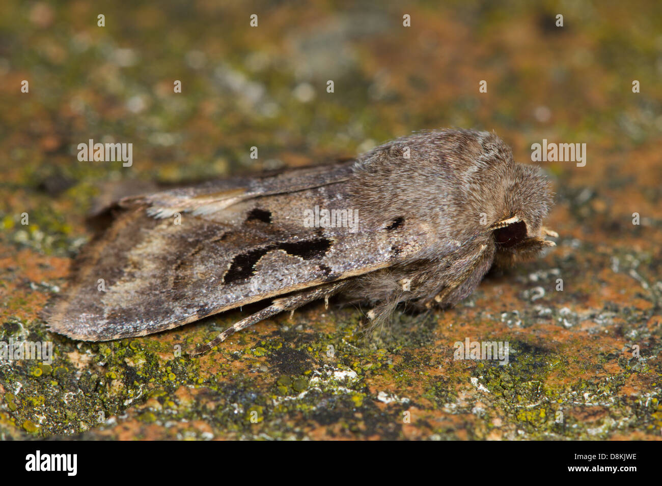 Hebrew Character (Orthosia gothica) - Stock Image
