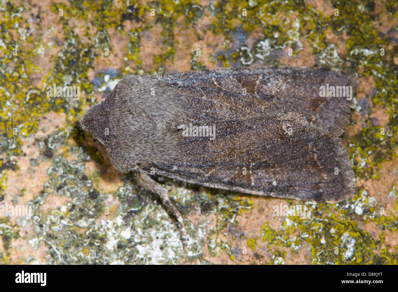 Clouded Drab (Orthosia incerta) - Stock Image