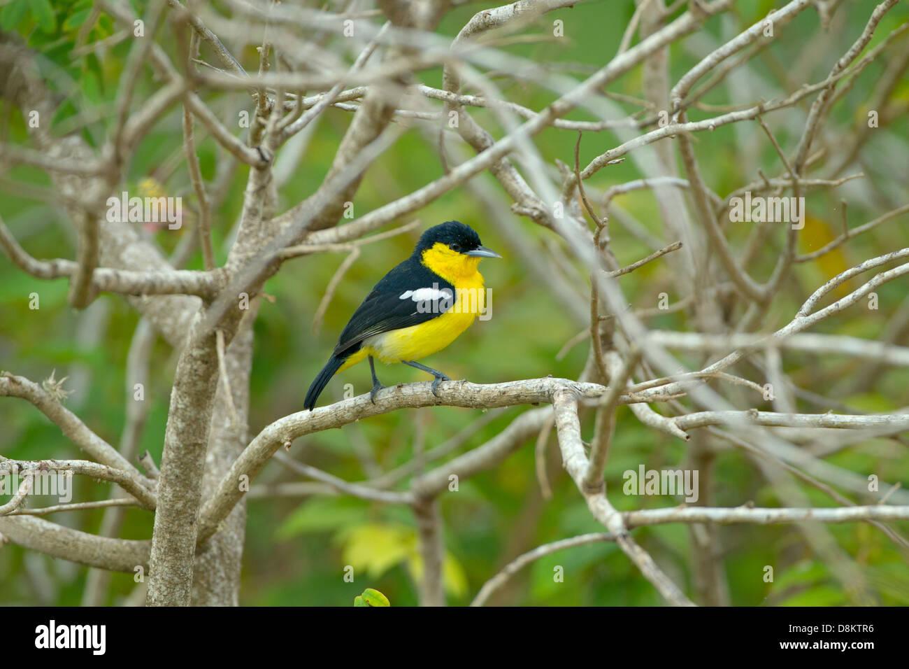Common Iora Aegithina tiphia Male at Yala Sri Lanka - Stock Image