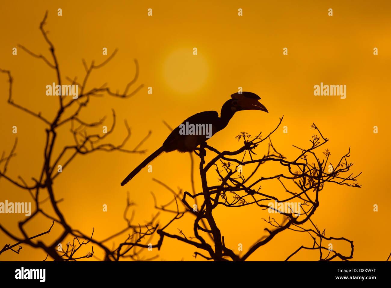 Malabar Pied Hornbill Anthracoceros coronatus at sunset - Stock Image