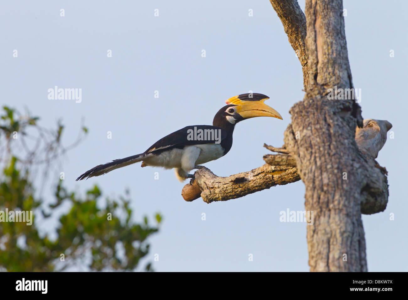 Malabar Pied Hornbill Anthracoceros coronatus - Stock Image