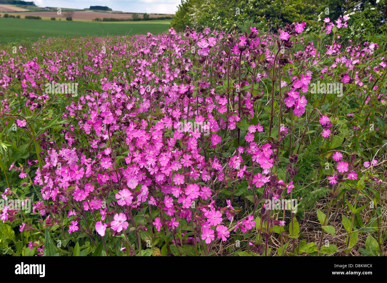 Red Campion Silene dioica on field margin Norfolk UK May - Stock Image