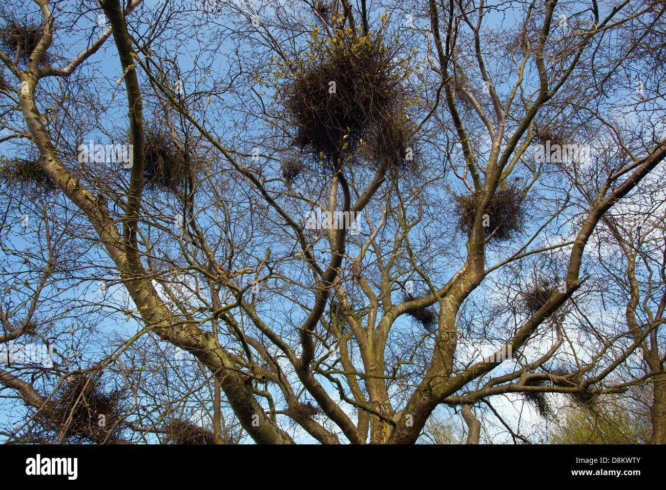 Witches Broom disease on Silver Birch Tree Spring Norfolk - Stock Image