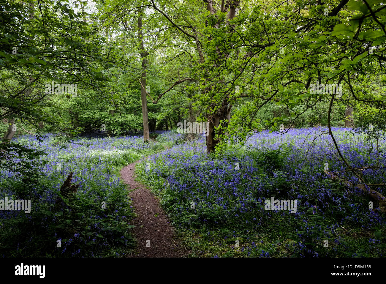 A path through bluebells in an Essex woodland. Stock Photo