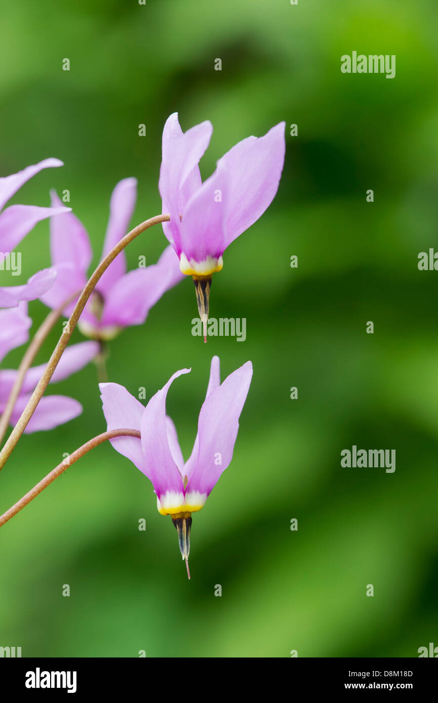 Dodecatheon meadia. Shooting Star. American cowslip flower. UK - Stock Image