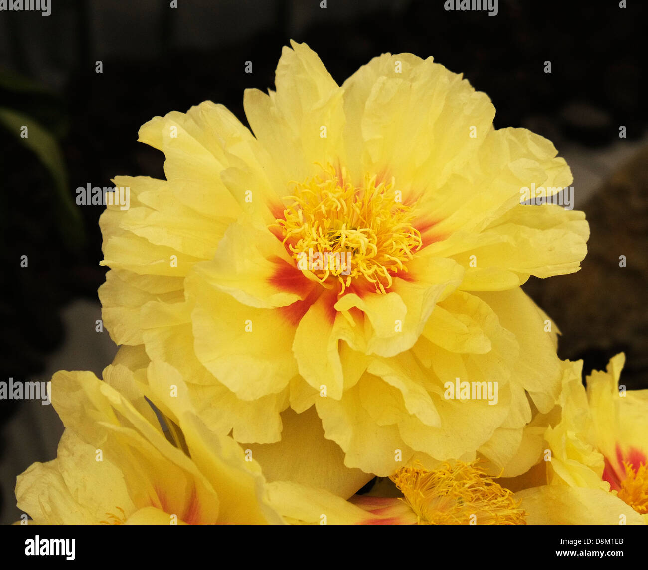 A peony on display at the Chelsea Flower Show. - Stock Image