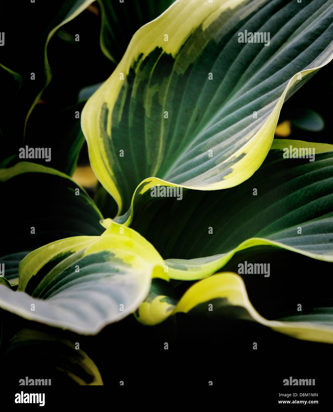 Hosta Regal Splendor Herbaceous Perennial Stock Photo 56988757
