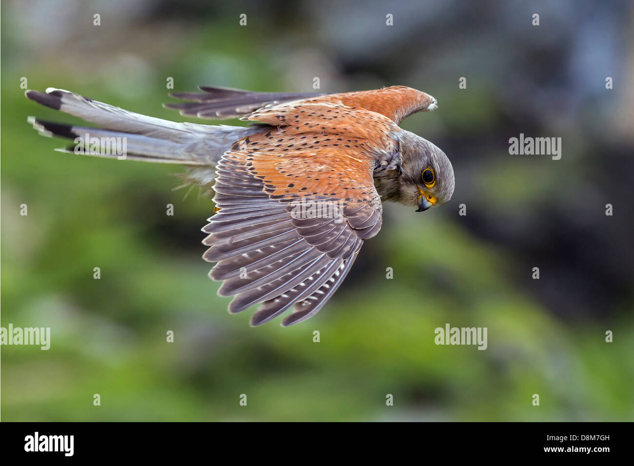 kestrel hovering, turned its head and looked at me then went on with its hunt - Stock Image