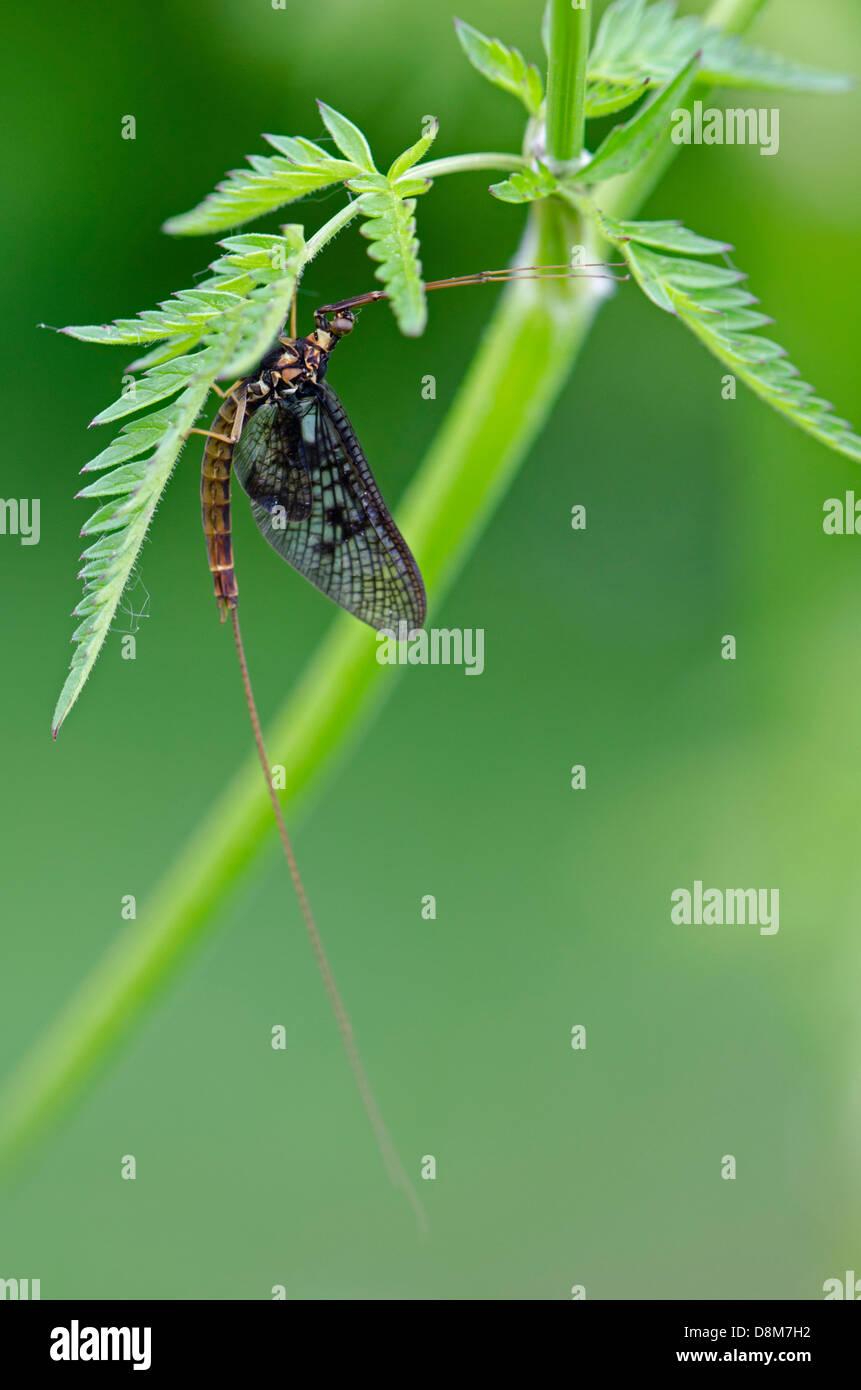 Mayfly Ephemera danica on leaf - Stock Image