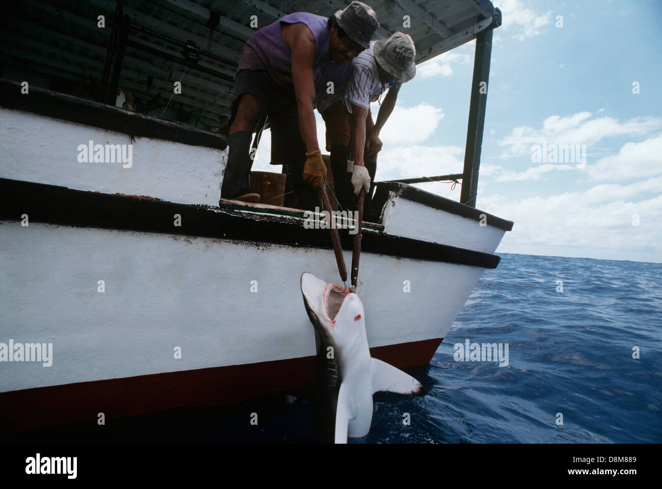 Hauling in a Oceanic Blacktip Reef Shark (Carcharhinus limbatus) caught on a long line. Cocos Island, Costa Rica Stock Photo