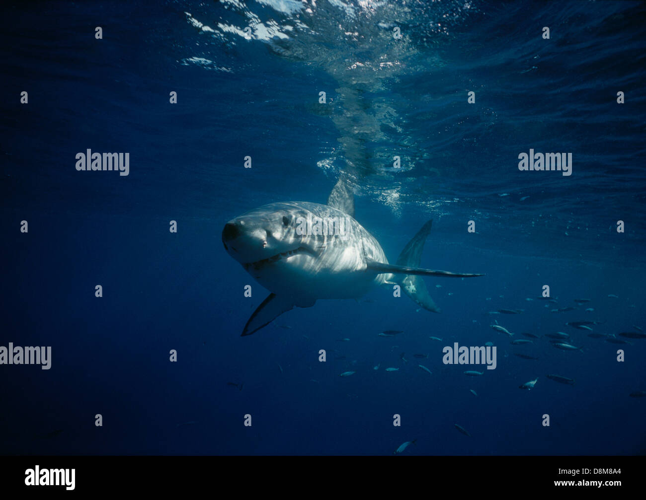 Great White shark (Carcharodon Carcharias). Dangerous Reef, South Australia - Stock Image