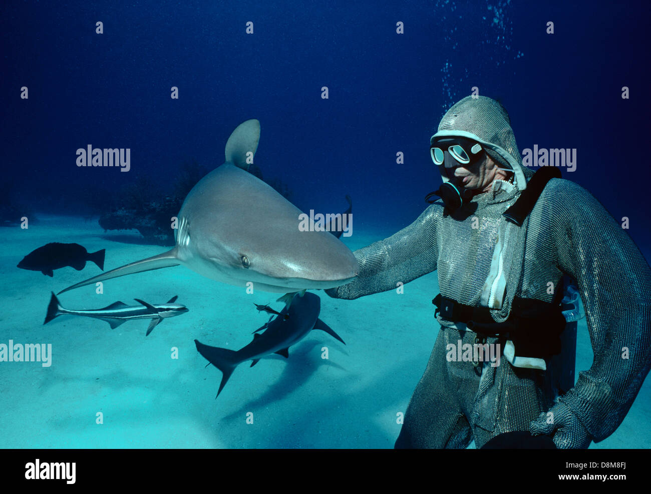 Caribbean reef sharks (Carcharhiunus perezi) and shark handler in chain mail suit. Bahamas, Caribbean Sea - Stock Image