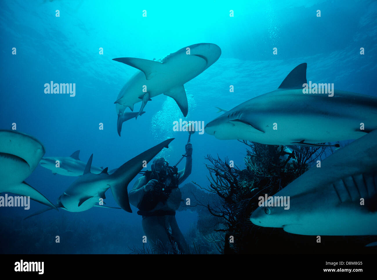 A diver in chain mail photographing Caribbean reef shark (Carcharhiunus perezi). Bahamas, Caribbean Sea - Stock Image