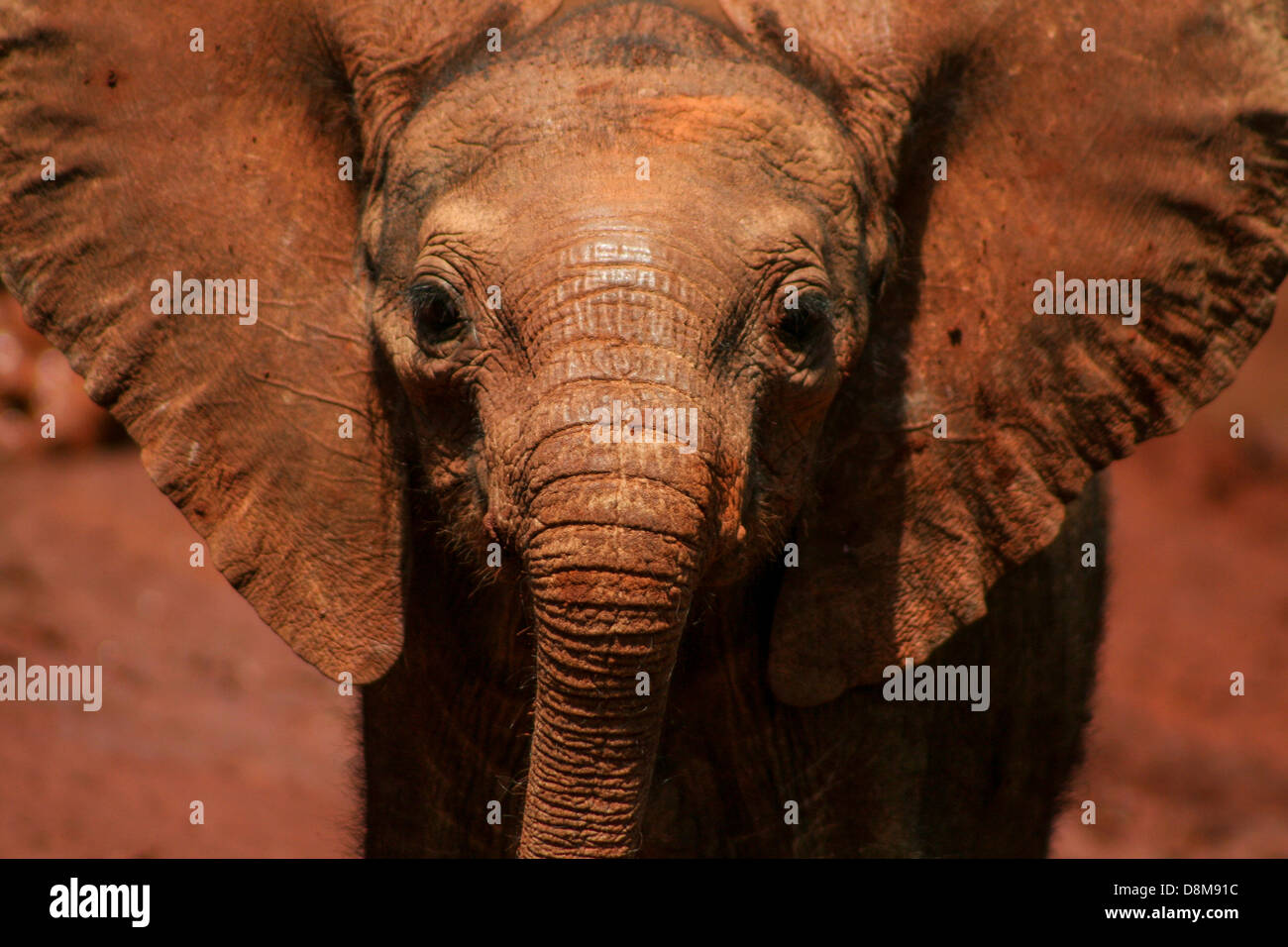 A young orphan at The David Sheldrick Wildlife Trust. - Stock Image