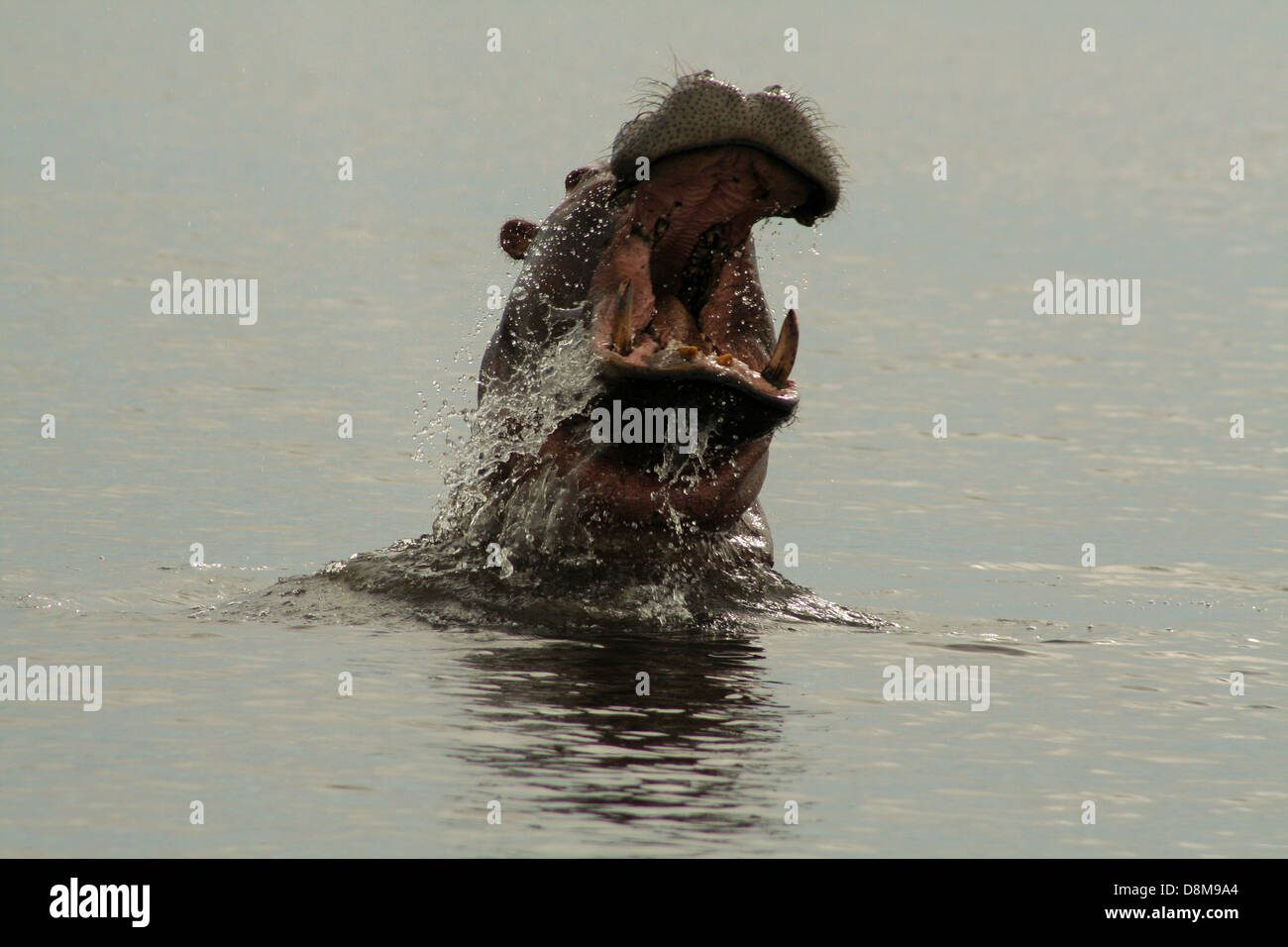 A Hippo in the Chobe River, Botswana - Stock Image