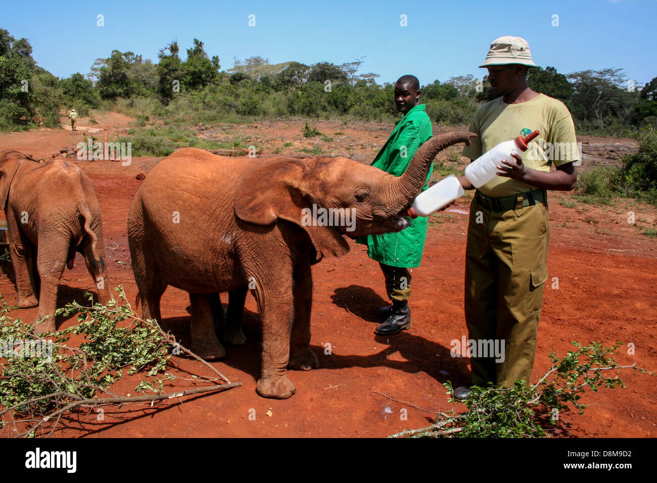 Lunch time for an orphaned elephant at The David Sheldrick Wildlife Trust - Stock Image