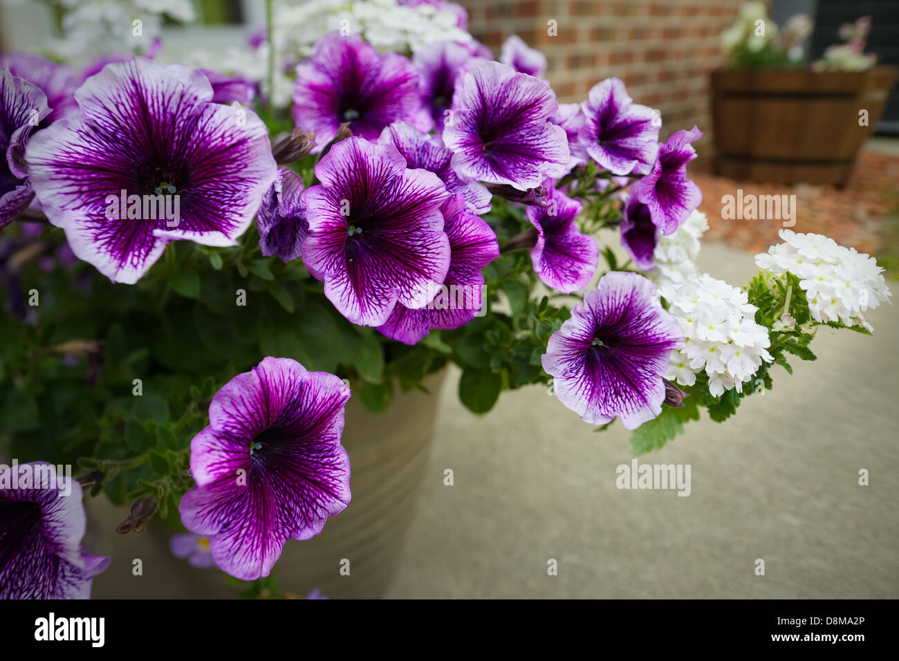 Trailing Petunias Stock Photos Trailing Petunias Stock Images Alamy