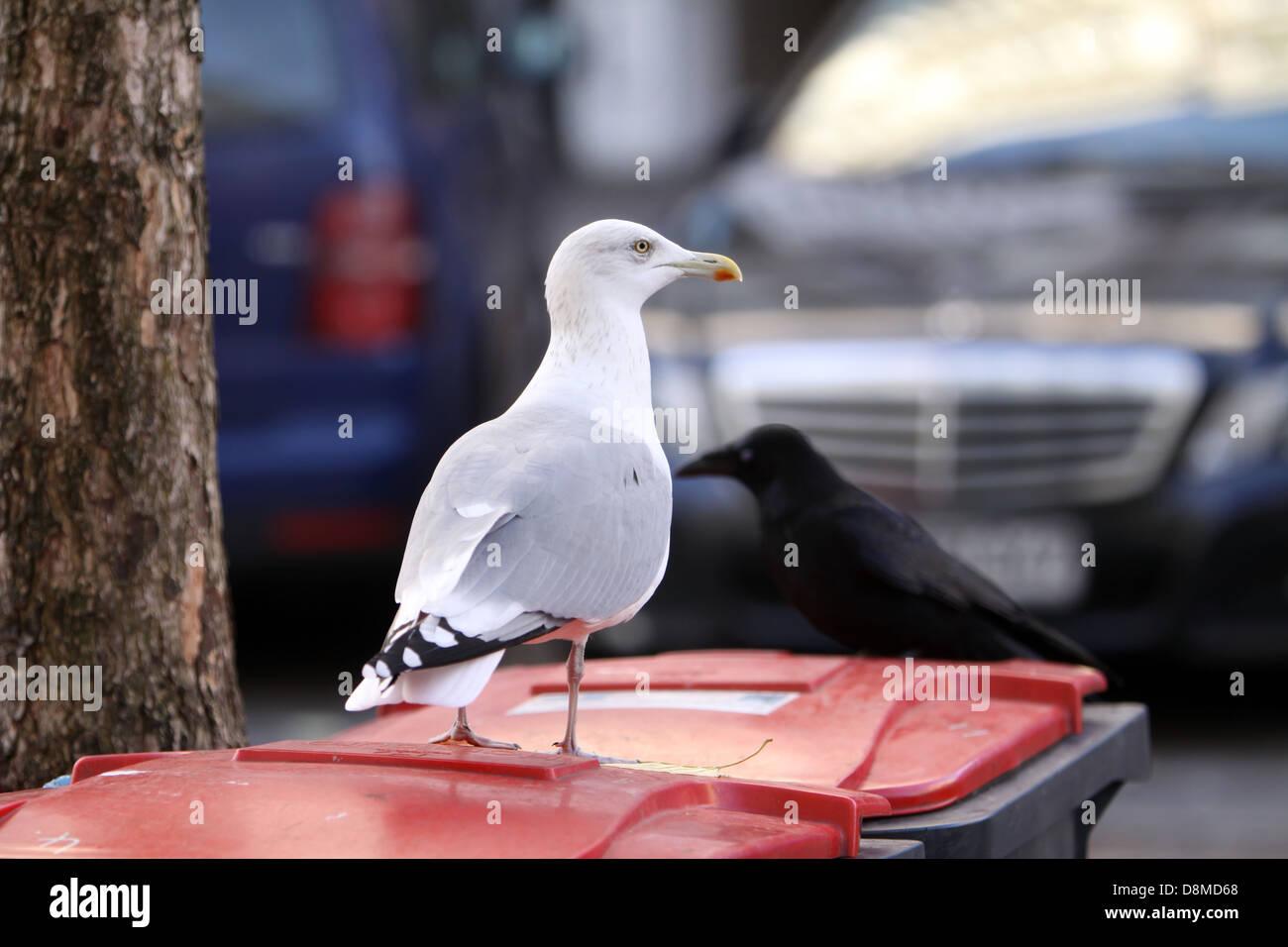 seagull on a dustbin Stock Photo