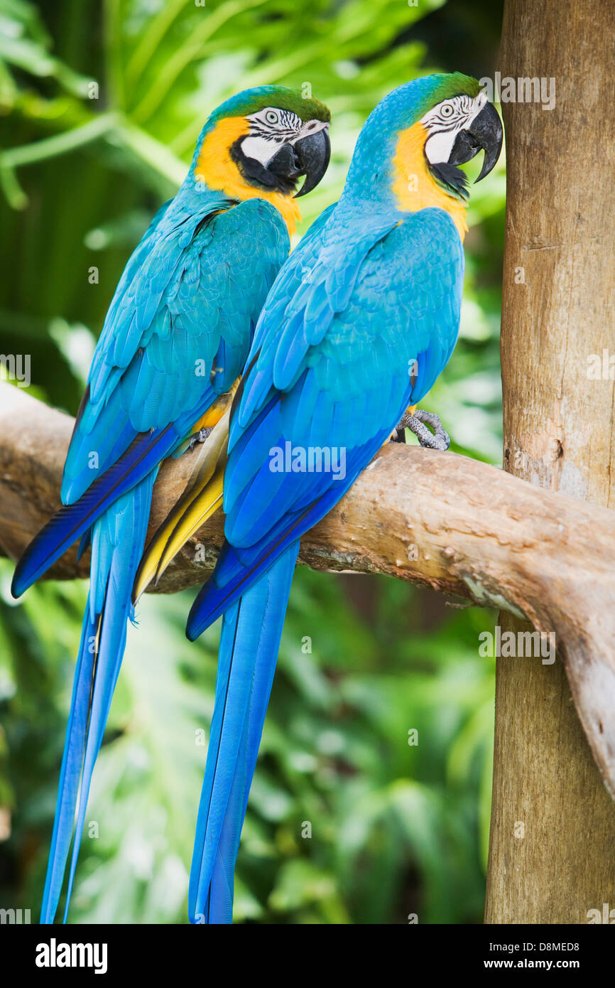 Captive parrots, Parque Das Aves (Bird Park), Foz de Iguacu, Brazil - Stock Image