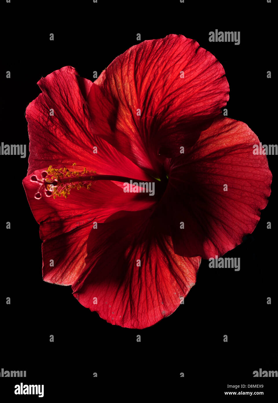 Red hibiscus flower on black background stock photo 56999105 alamy red hibiscus flower on black background izmirmasajfo