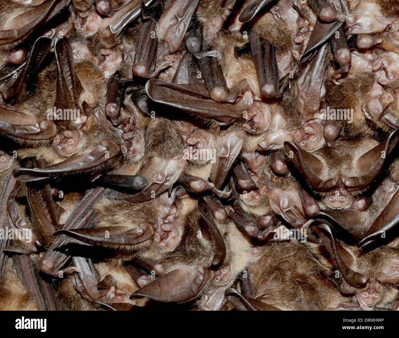 Cluster of hibernating virginia big eared bats. - Stock Image