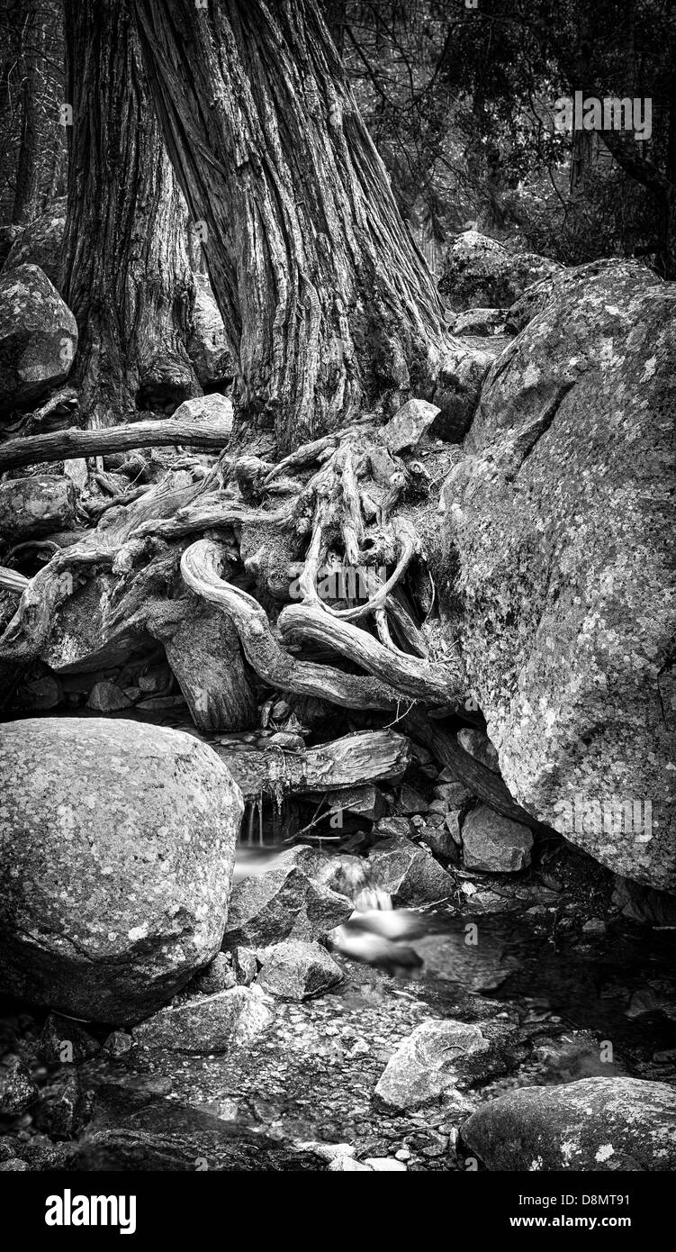 A large tree in a forest with roots growing around large stones over a small stream - Stock Image