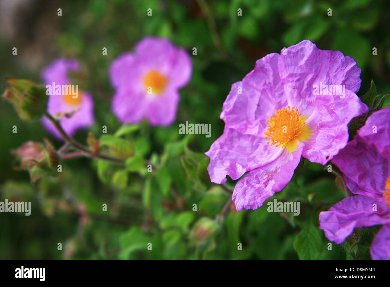 Rockrose Stock Photo
