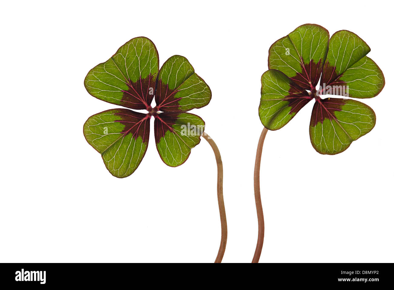 Green four leaved clover on white - Stock Image