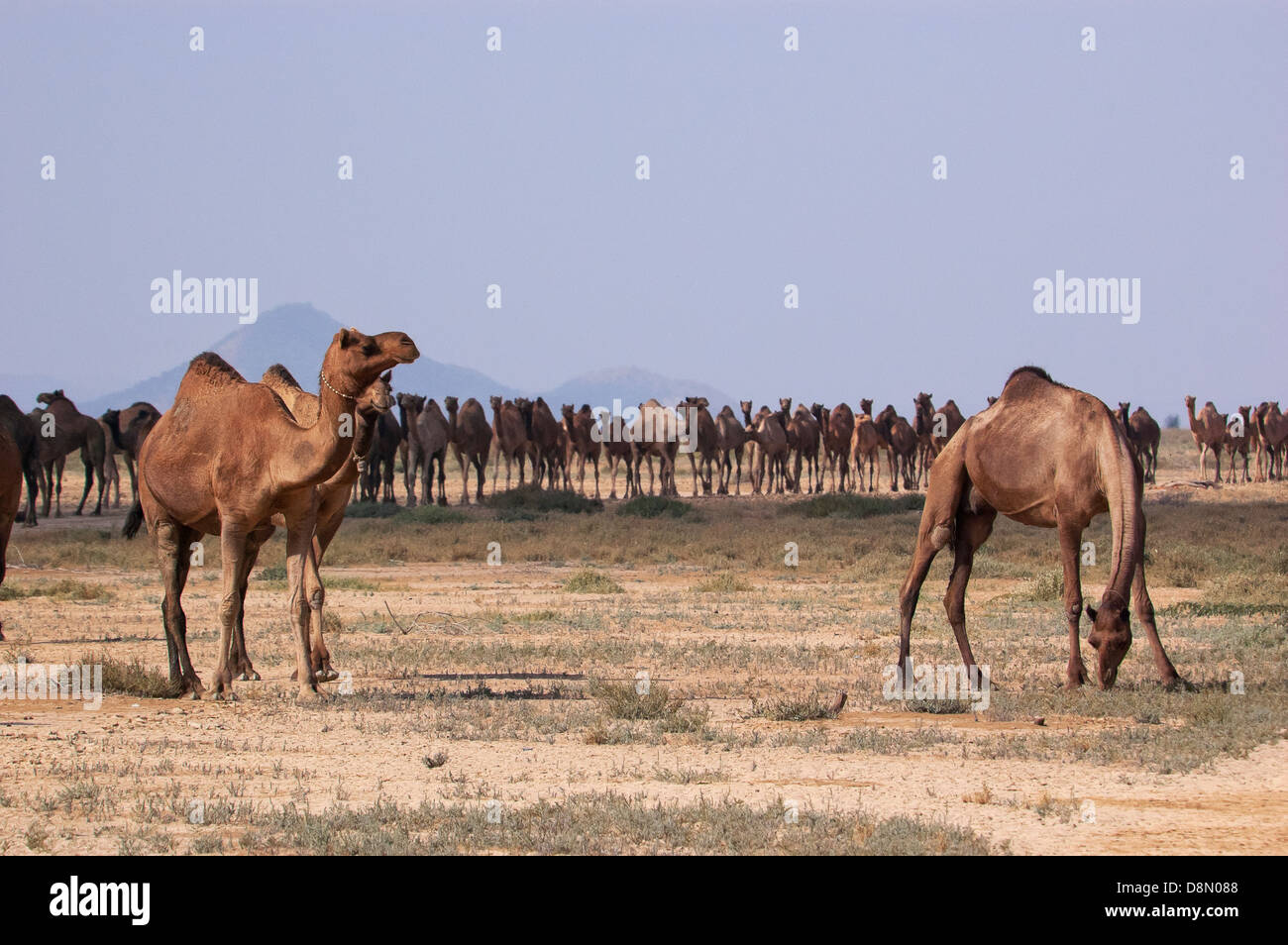 camels at greater rann of kutch - Stock Image