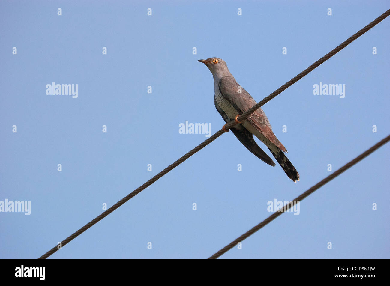 Common Cuckoo (Cuculus canorus) also called the European Cuckoo or Eurasian cuckoo - Stock Image
