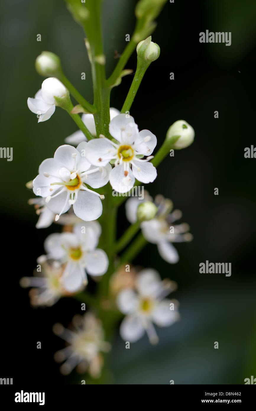Blooming Cherry Laurel (lat. Prunus laurocerasus Schipkaensis Macropylla) - Stock Image
