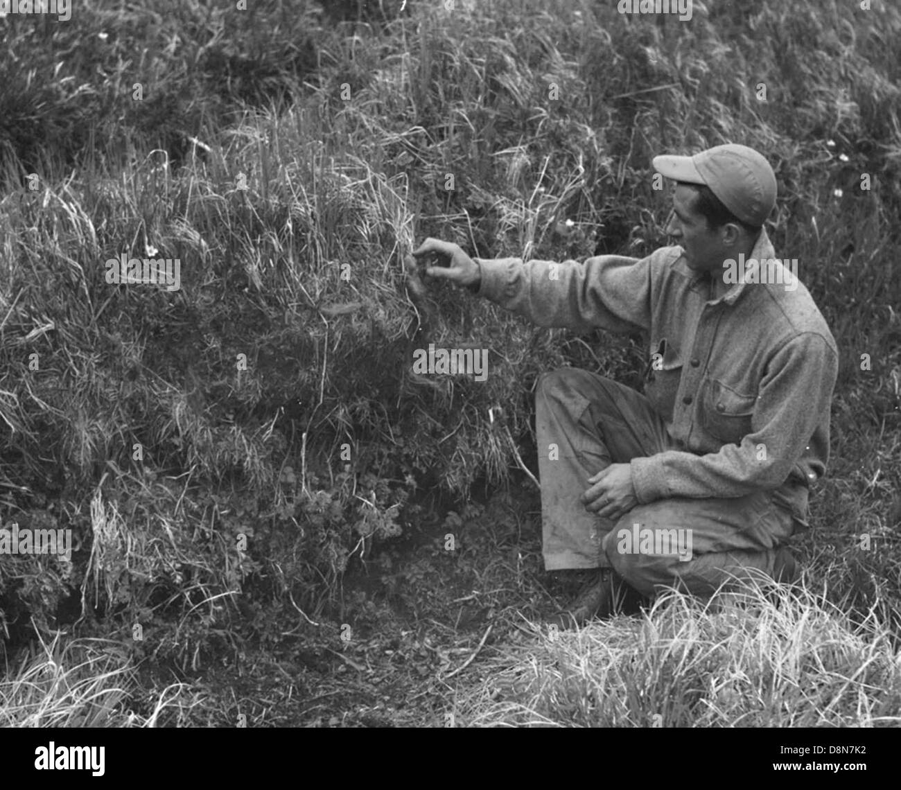 Historical photos man in the tall grass. - Stock Image