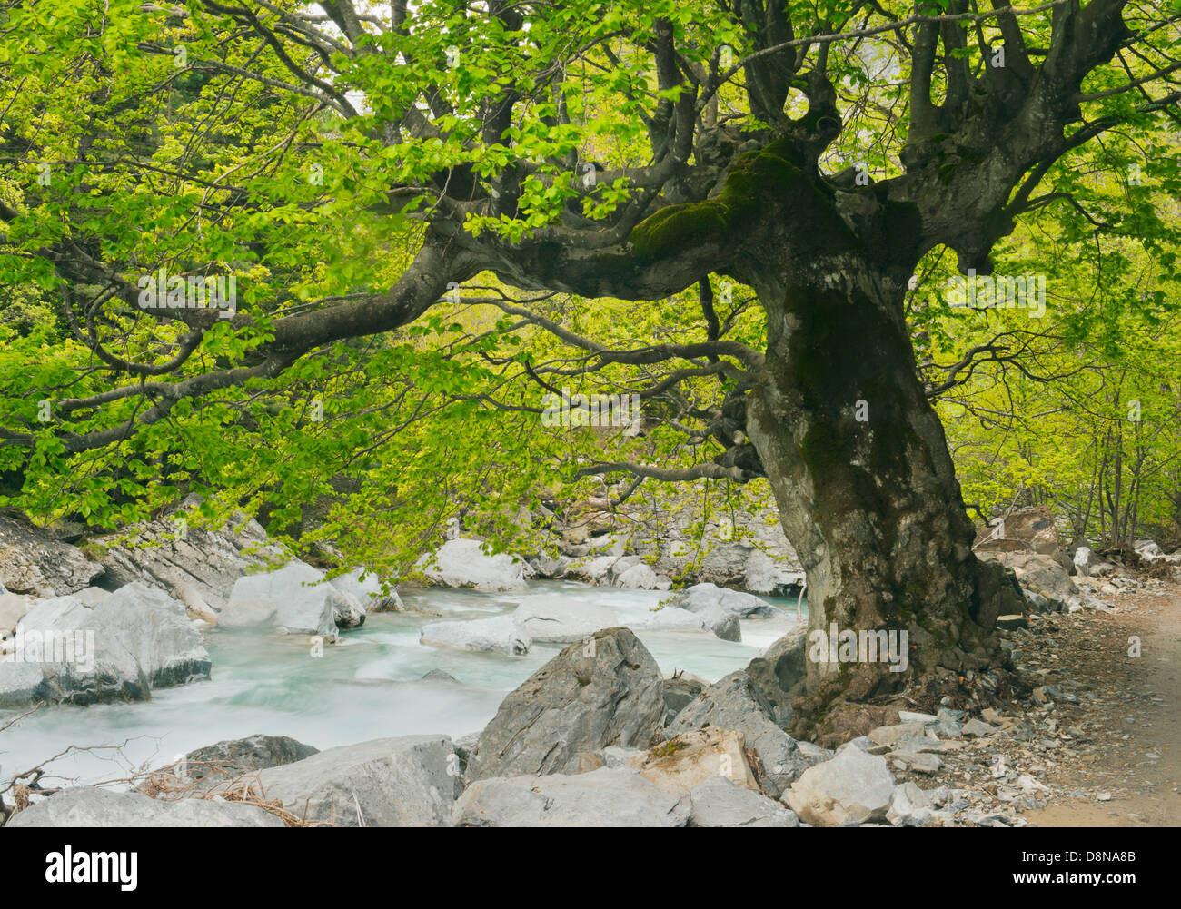 Old Growth Copper Beech (Fagus sylvatica) Ordesa-Monte Perdido National Park, Pyrenees, Spain UNESCO WORLD HERITAGE - Stock Image