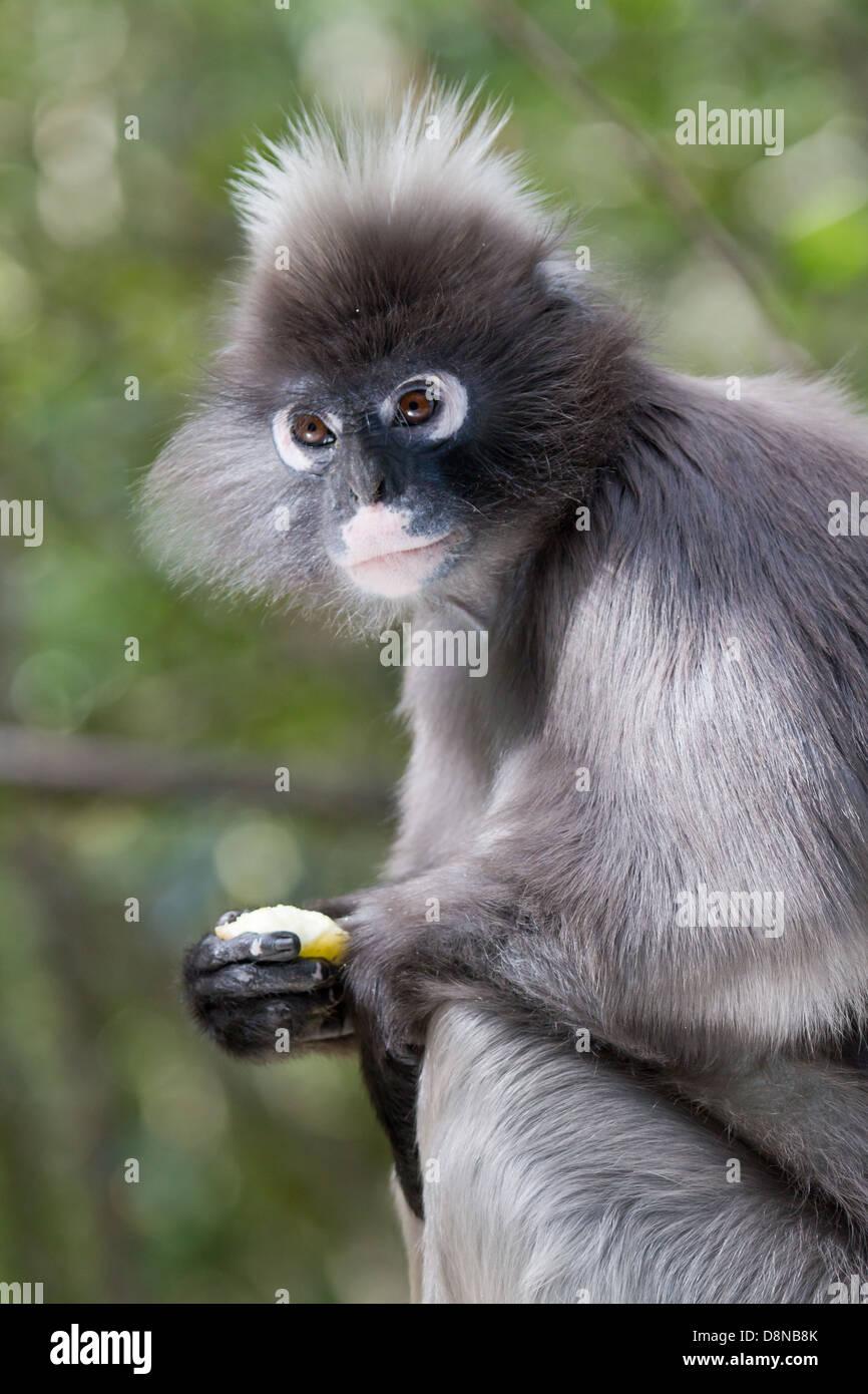 Spectacled Langur Monkey - Stock Image