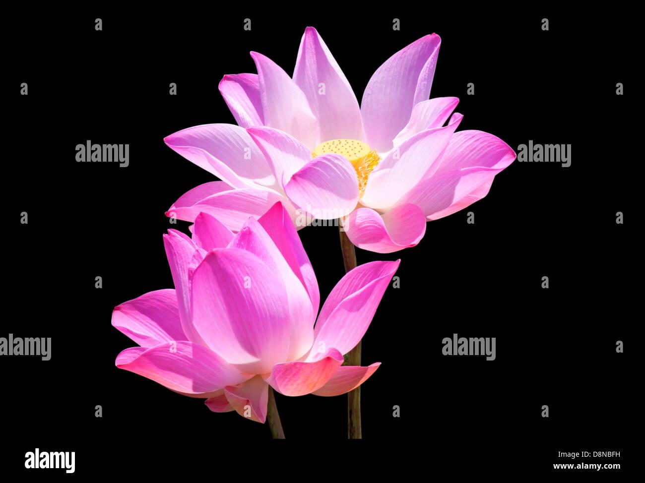 Beautiful Lotus Lotus Flower Isolated On Black Background Stock