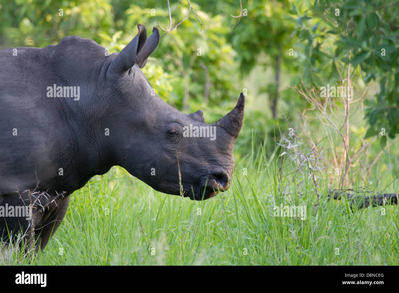 Rhino sniffs the air - Stock Image