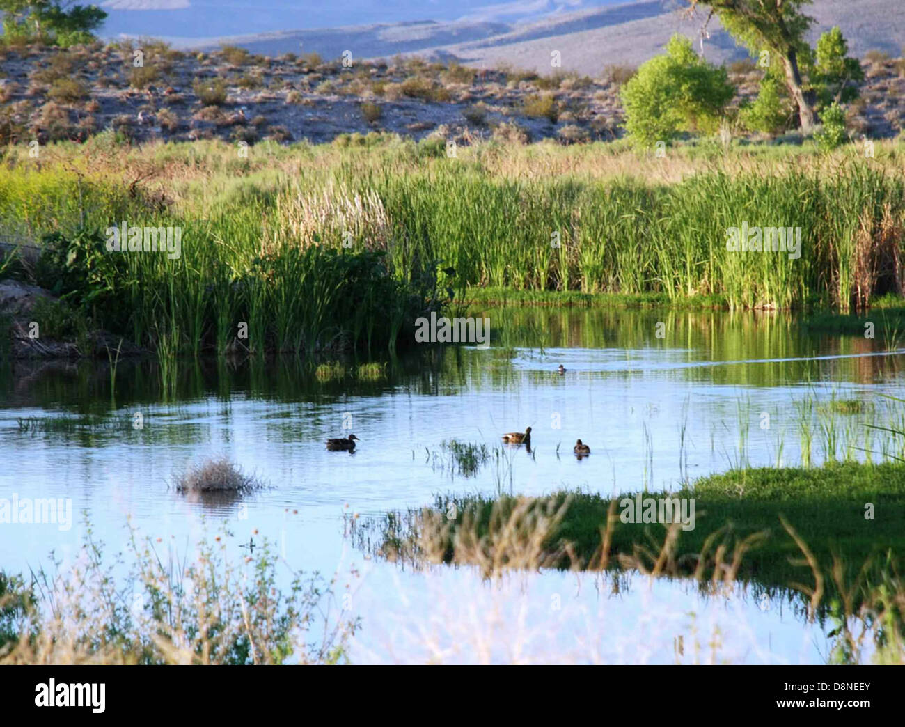 Waterfowl take advantage of the peaceful habitat. - Stock Image
