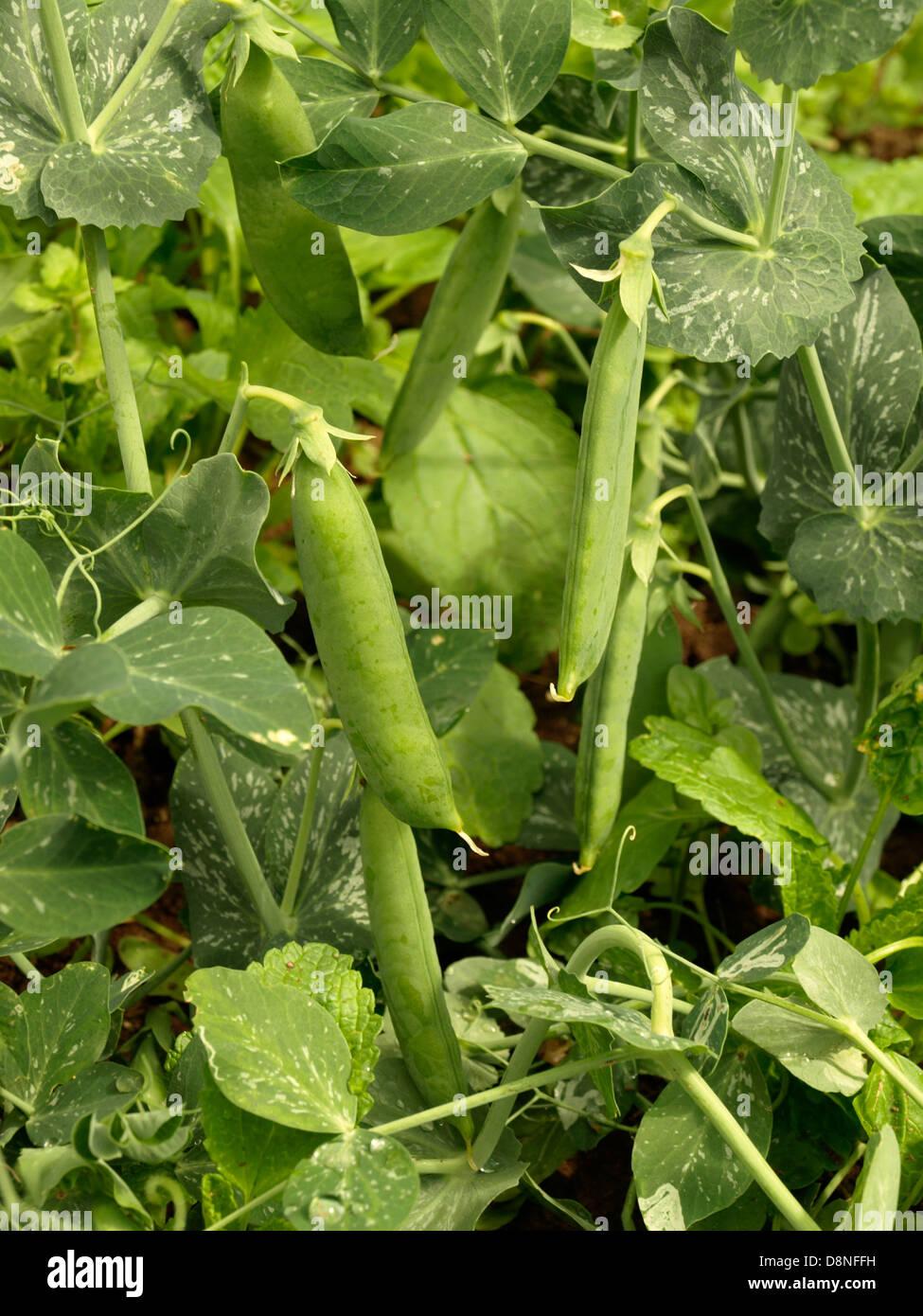 garden pea, Pisum sativum, green pea plant - Stock Image