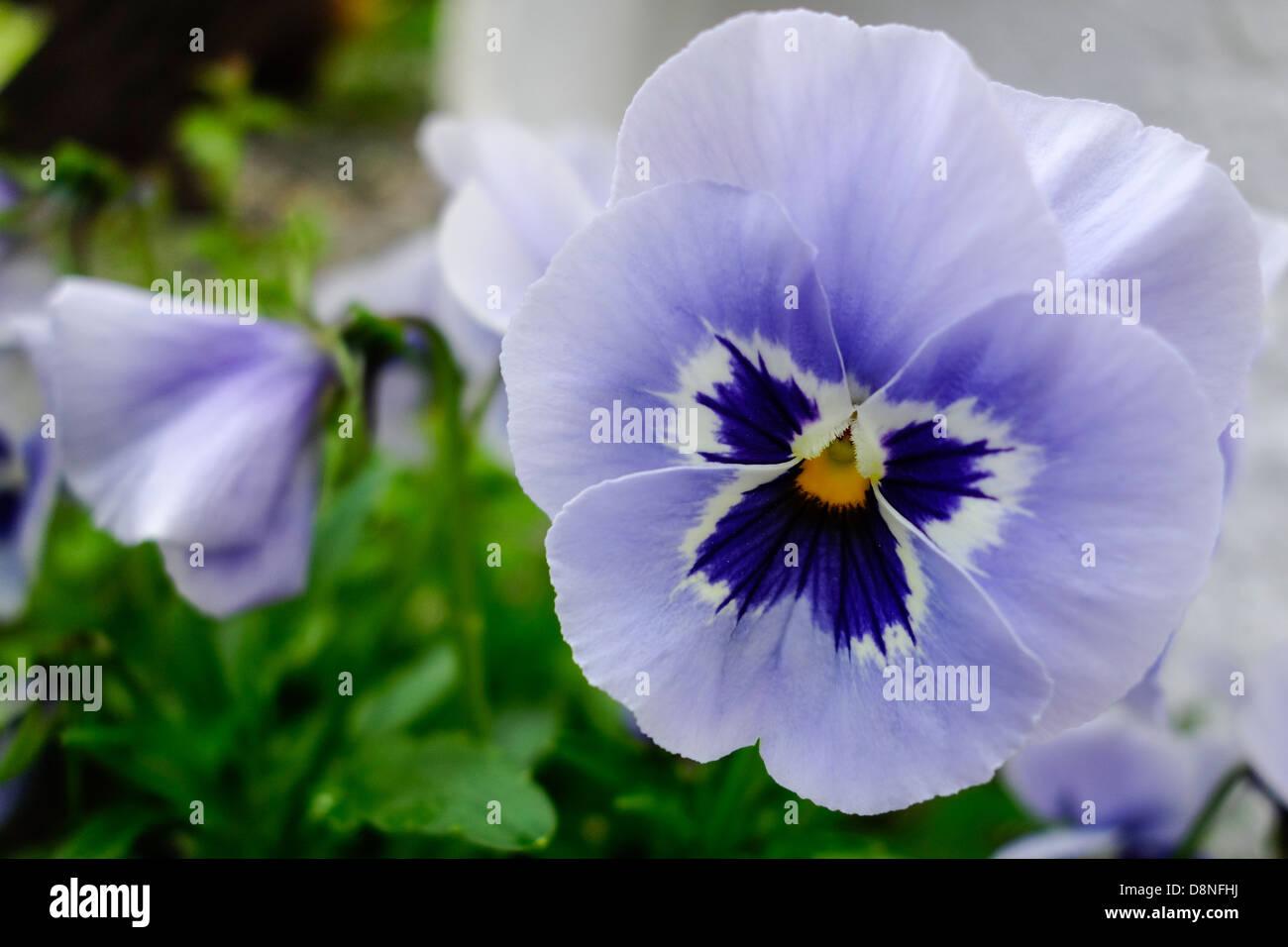 Flowering pansies in the spring - Stock Image