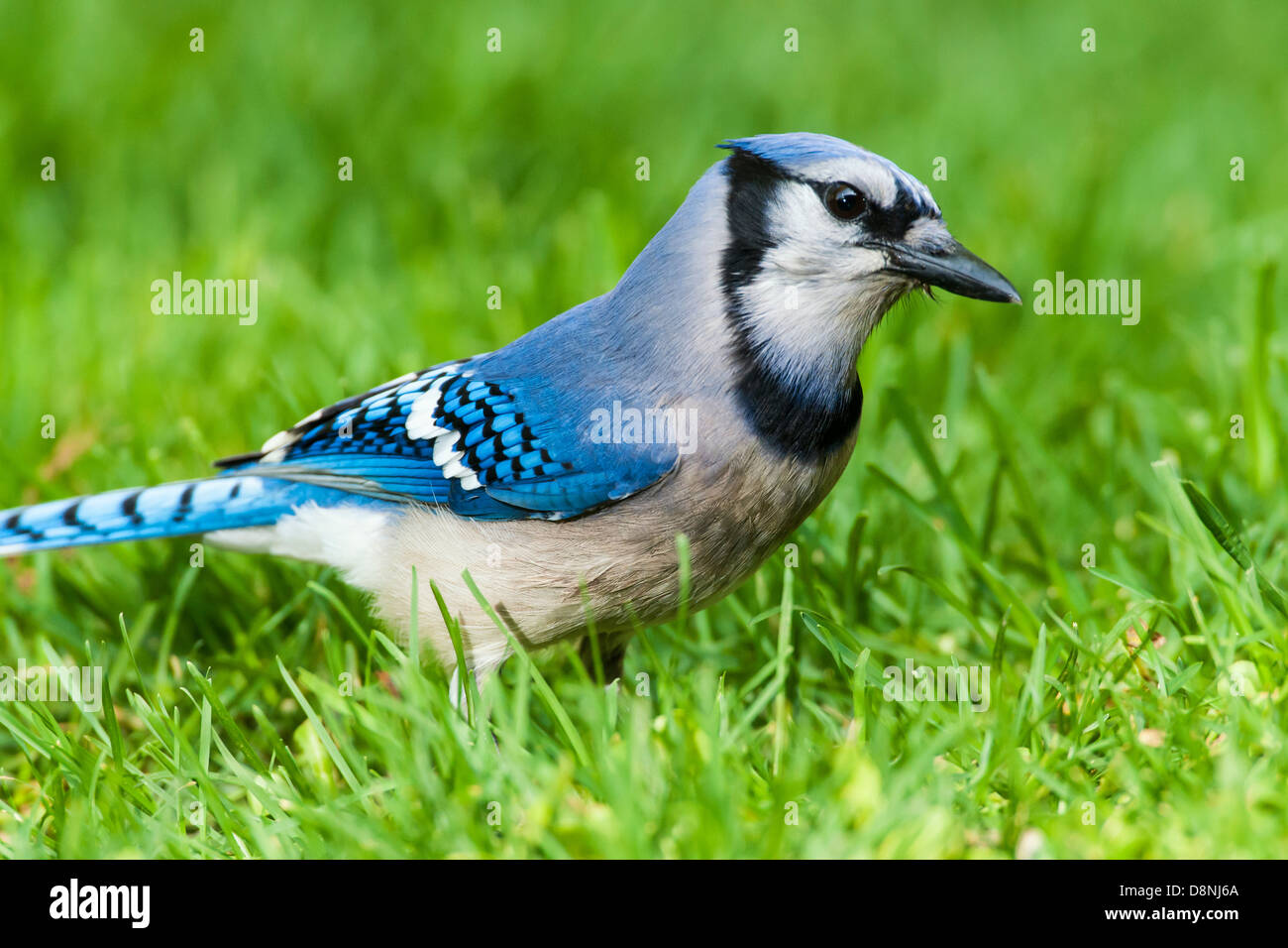 Blue Jay foraging in green grass Stock Photo