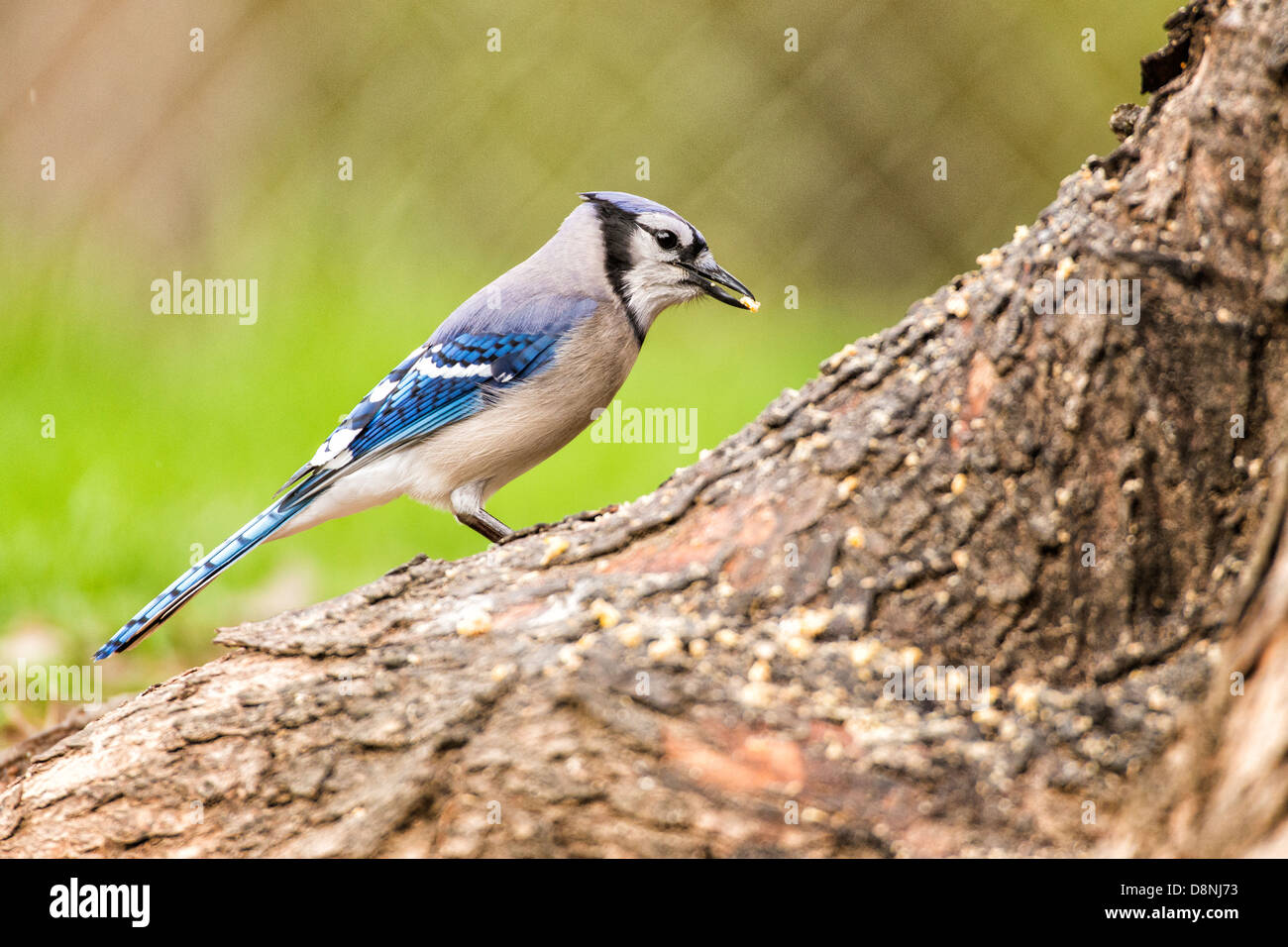 Blue Jay foraging for seeds on ground Stock Photo