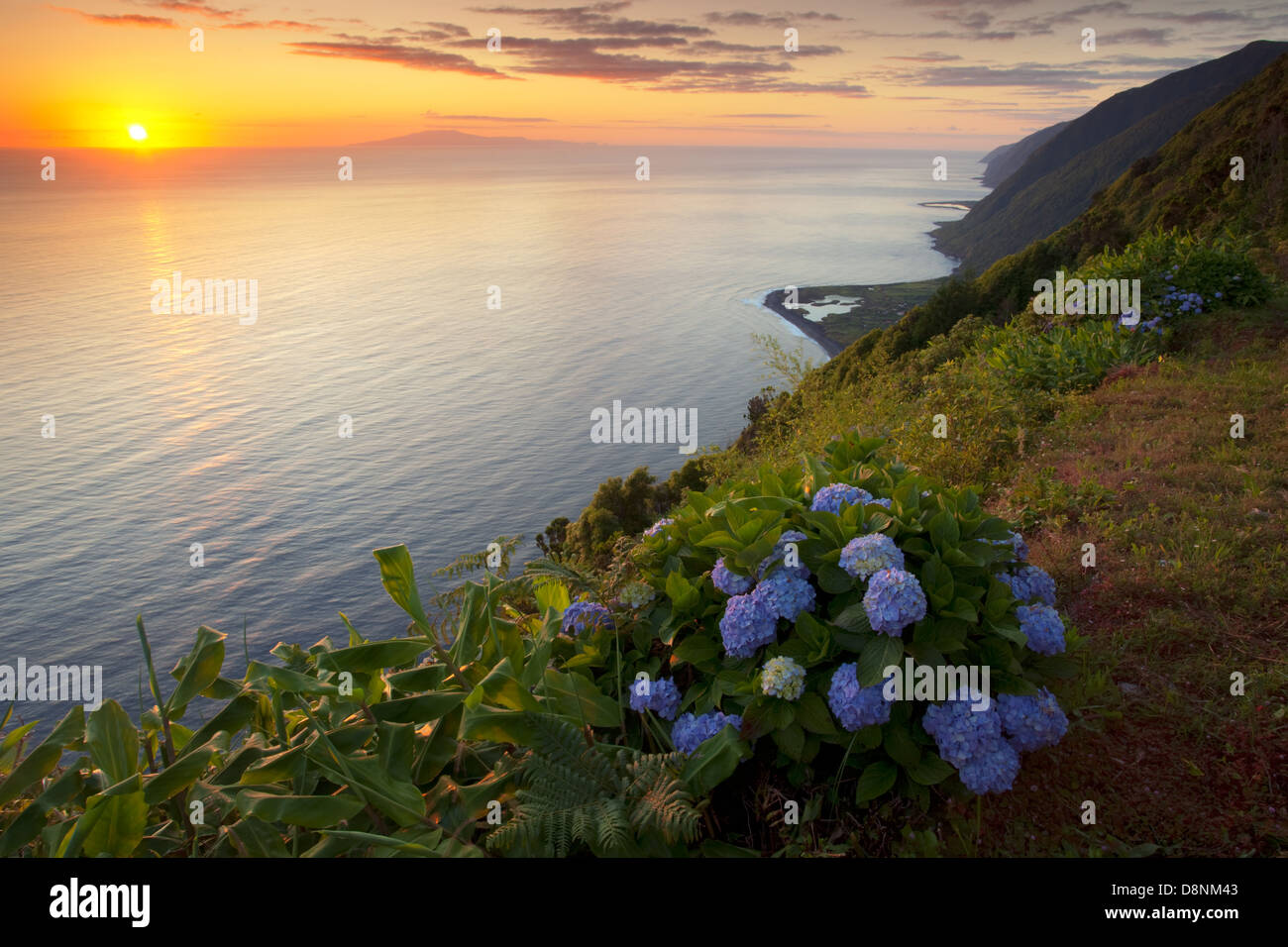 Hydrangeas at sunrise in north coast of São Jorge island with Terceira island at the horizon - Azores - Stock Image