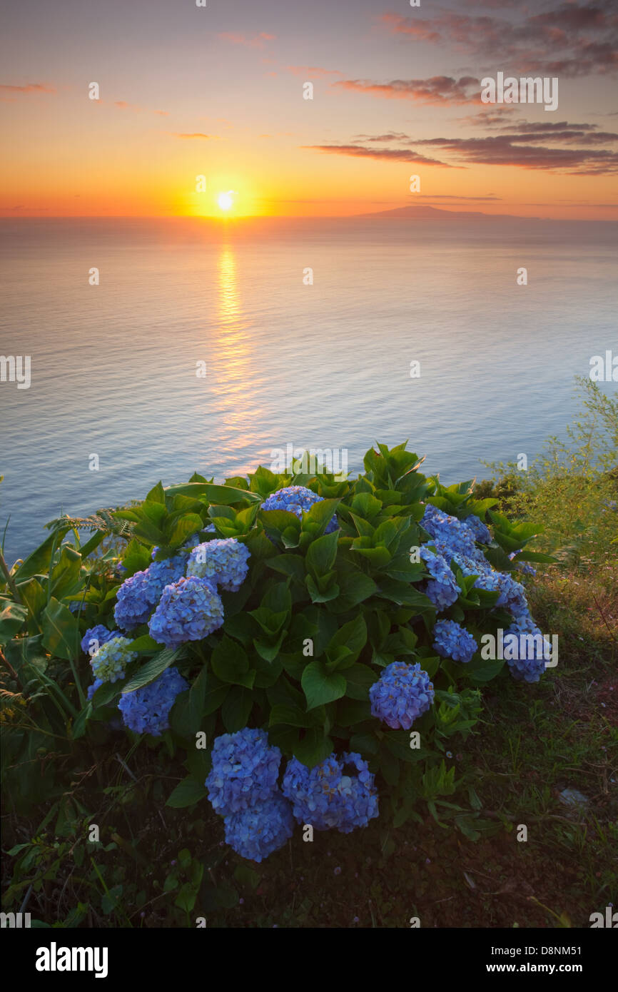 Hydrangeas at sunrise in north coast of São Jorge island with Graciosa island at the horizon - Azores - Stock Image