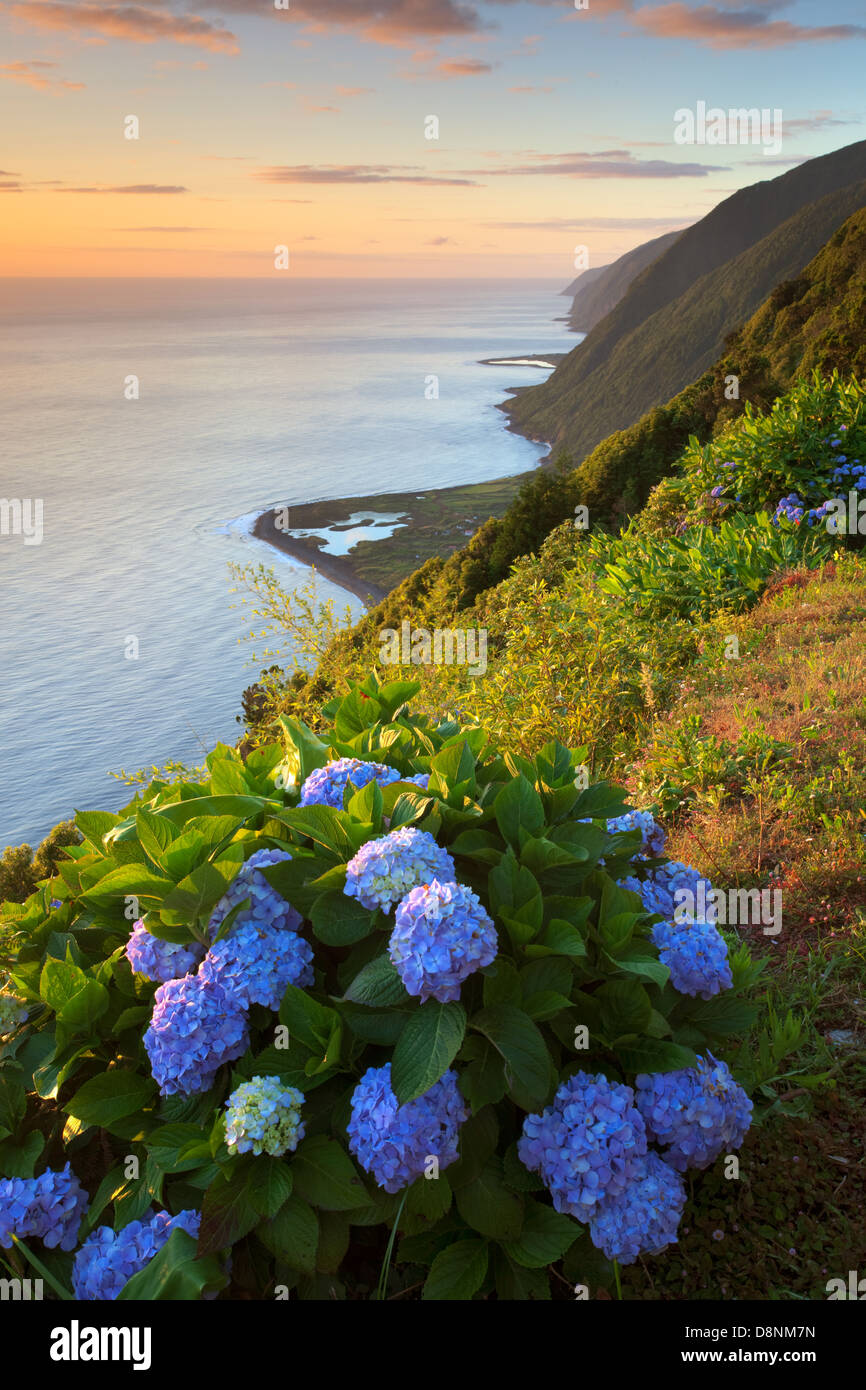 Hydrangeas at sunrise in north coast of São Jorge island with Fajã dos Cubres and Santo Cristo on the - Stock Image