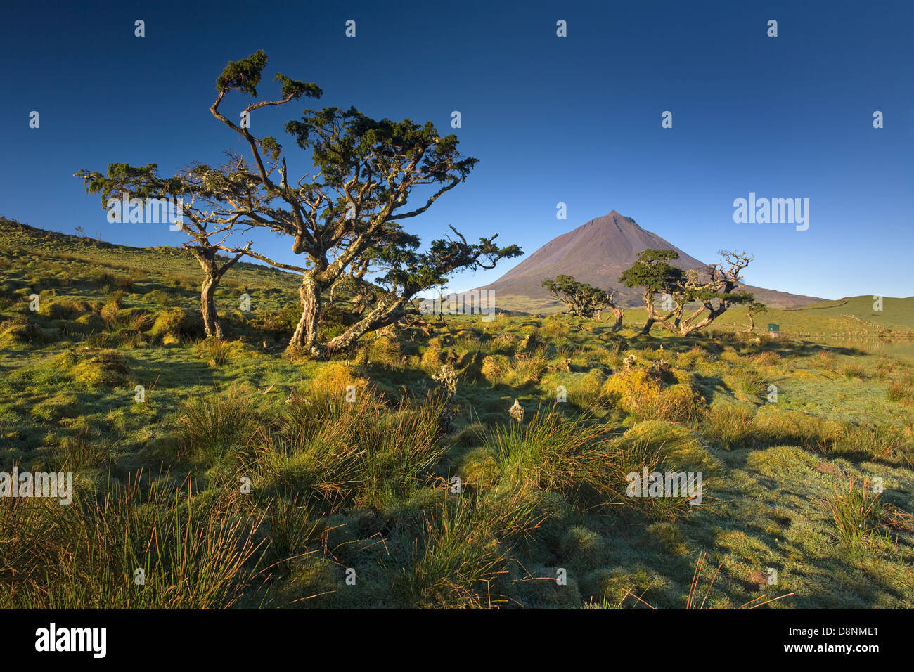 Trees at sunrise in Captain Lagoon with pico mountain in the horizon - Pico island - Azores - Stock Image