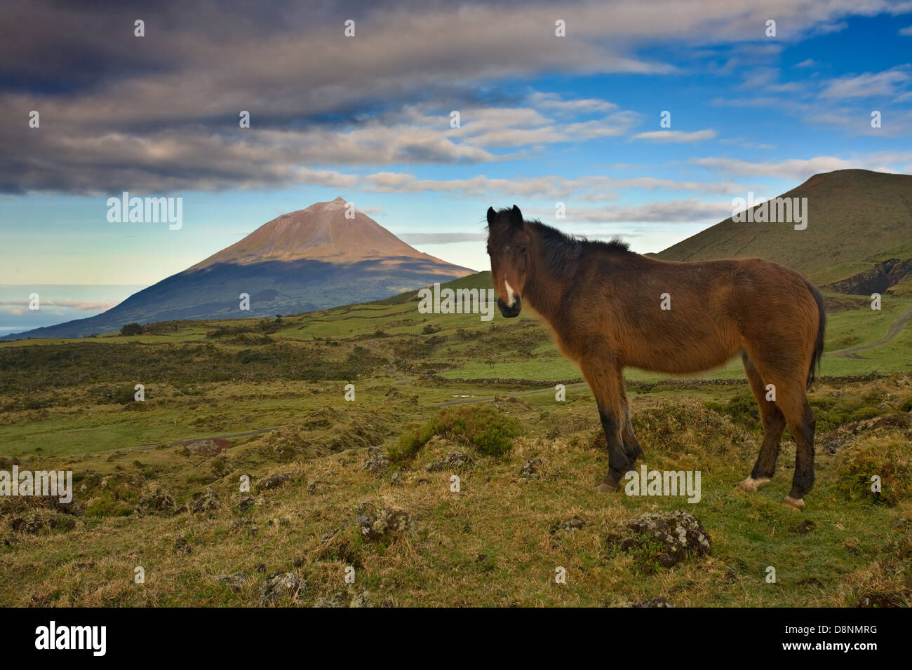 Wild horse at sunrise with Pico Mountain in the horizon - Pico Island - Azores - Stock Image