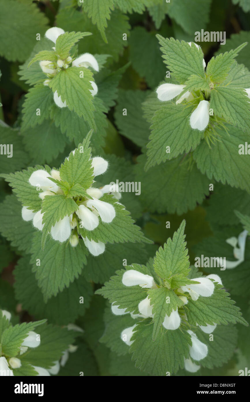 Patch of flowering white dead nettles showing gentle nature of leaf and bloom in springtime - Stock Image
